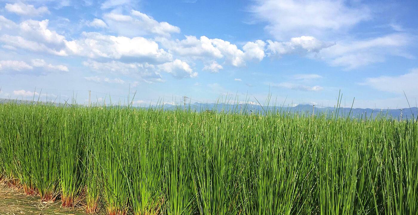 い草畑の写真